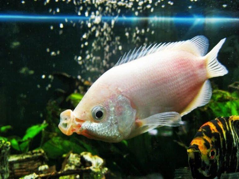 Ikan Beseng-Beseng
