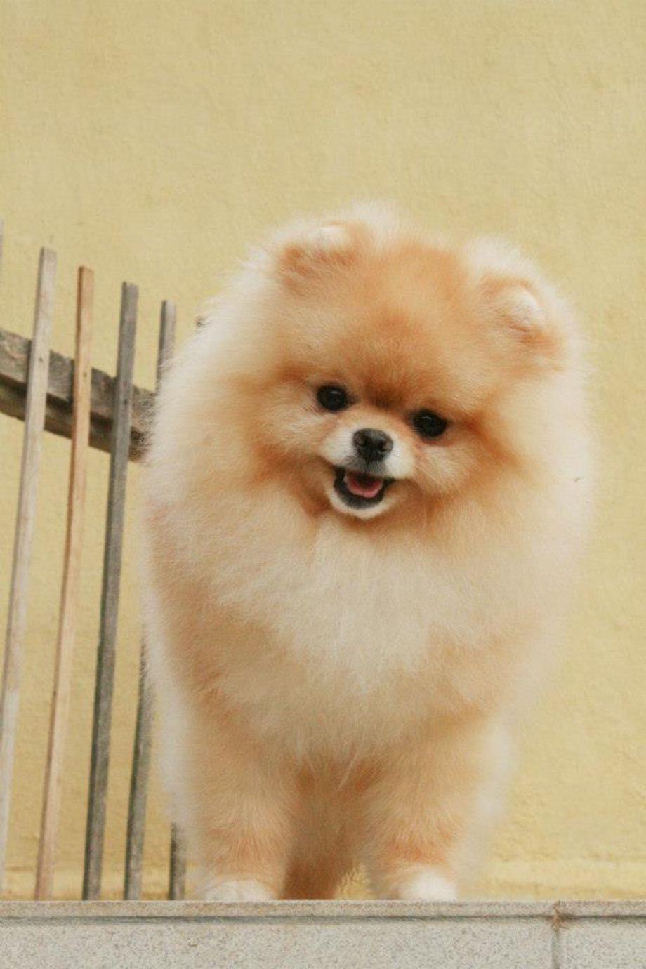 Anjing Pom