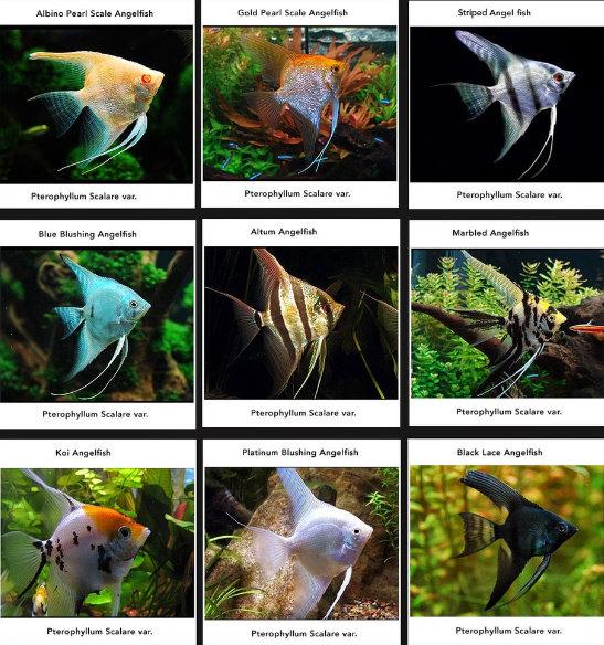 jenis-jenis ikan manfish