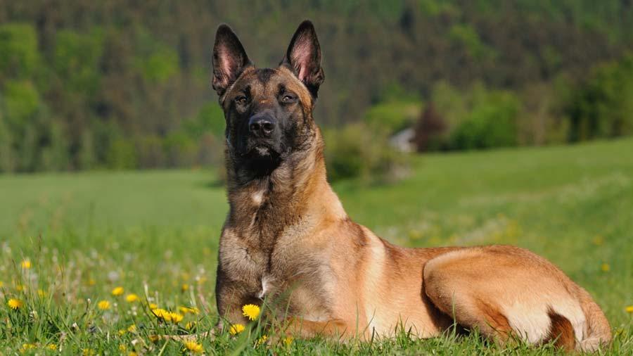 Belgian-Shepherd-Malinois-2