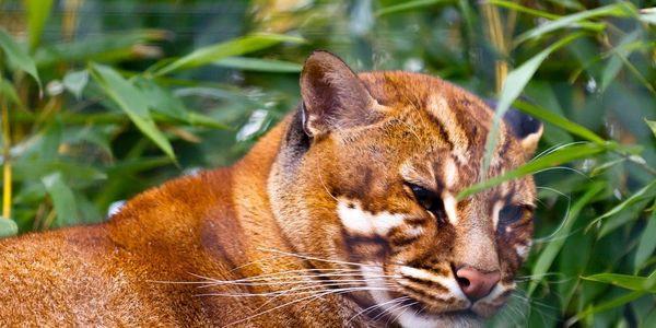Apa saja spesies kucing hutan langka di dunia? - Hewan