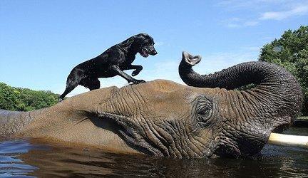 rsz_gajah_dengan_anjing