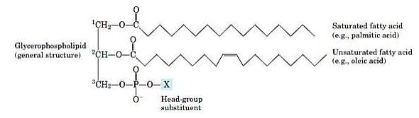 Rumus Umum Gliserofosfolipid