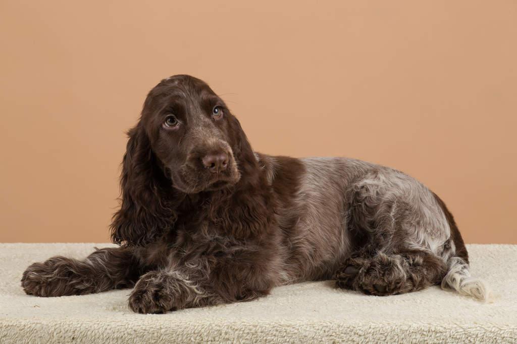 Dog-English_Cocker_Spaniel-A_wonderful_chocolate_coated_English_Cocker_Spaniel_lying_down