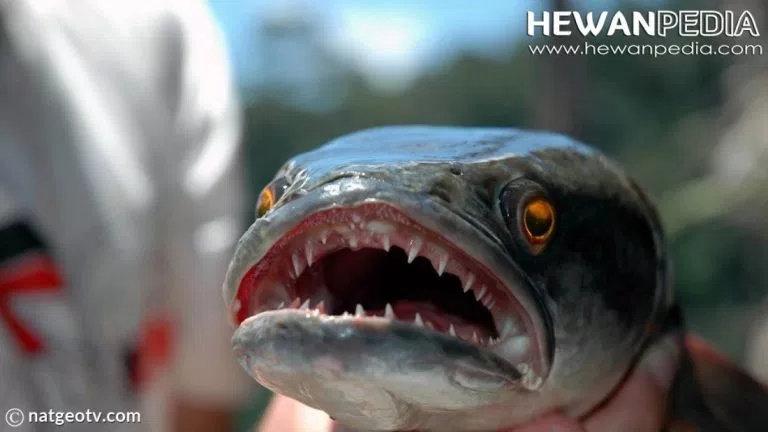 Fishzilla