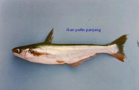 Apa Saja Jenis Ikan Patin Yang Ada Akuakultur Dictio Community
