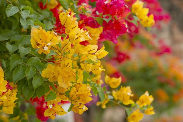 Bougenville atau tanaman bunga kertas