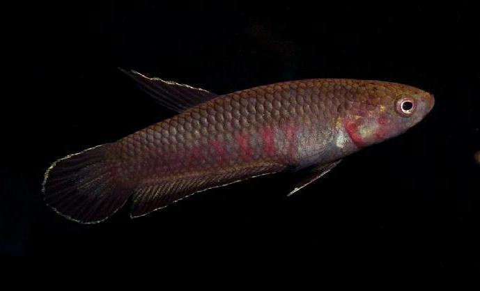 ikan cupang Betta Rubra