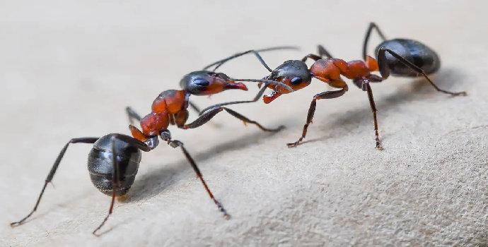 cara semut berkomunikasi