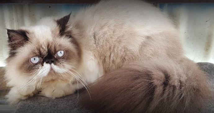 Apa Saja Makanan Yang Baik Bagi Kucing Persia Hewan Peliharaan