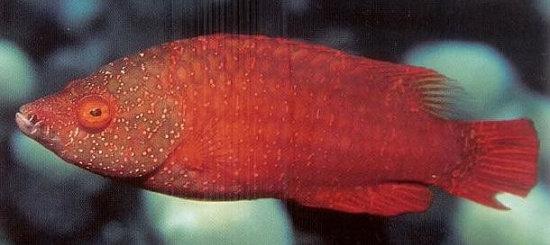 Cheilinus oxycephalus