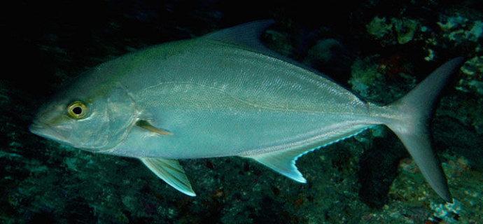 Ikan Kuwe Batu