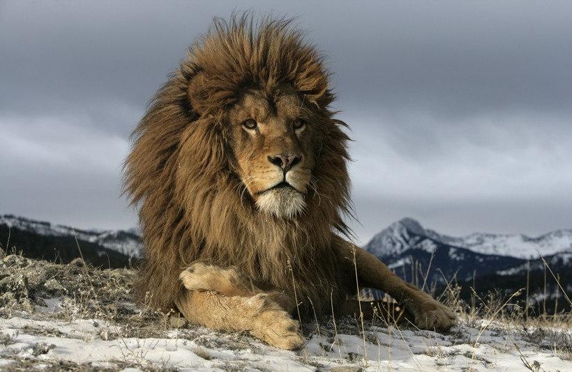 Singa Afrika
