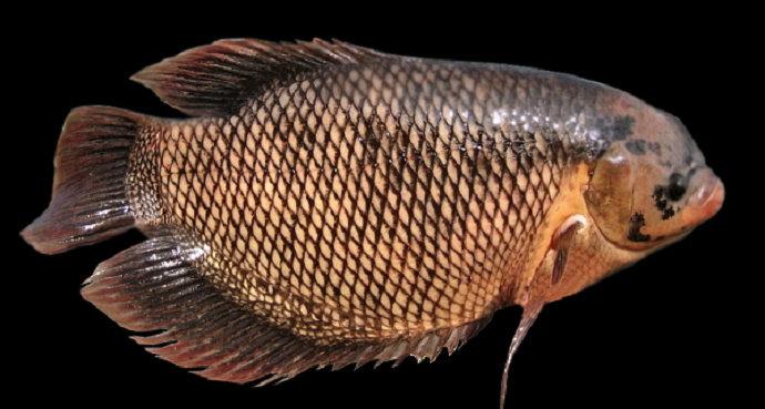 Bagaimana Cara Pengobatan Pada Ikan Gurame Yang Terserang Penyakit Kutu Ikan Argulus Akuakultur Dictio Community