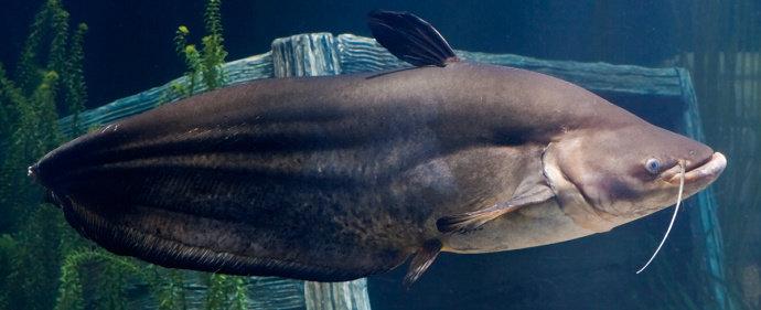 Unduh 94 Gambar Ikan Tapa HD Terbaru