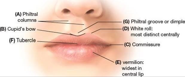 Anatomi Permukaan Bibir