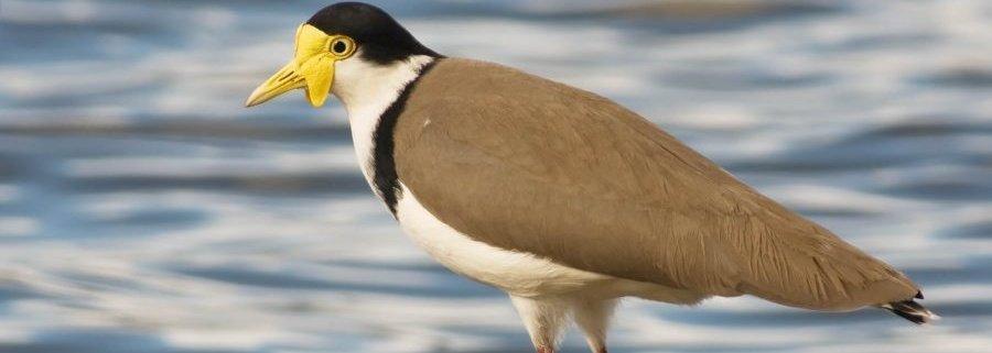 Burung-Trulek-Jawa