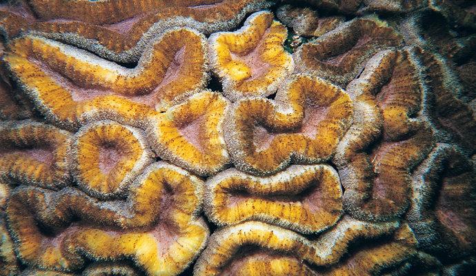 Terumbu karang Lobophyllia Hemprichii