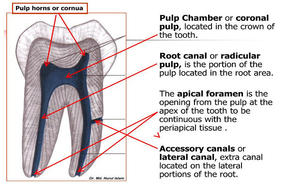 Anatomi Pulpa Gigi