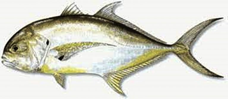 Apa Saja Manfaat Dan Khasiat Ikan Kuwe Lilin Diskusi Perikanan Dictio Community