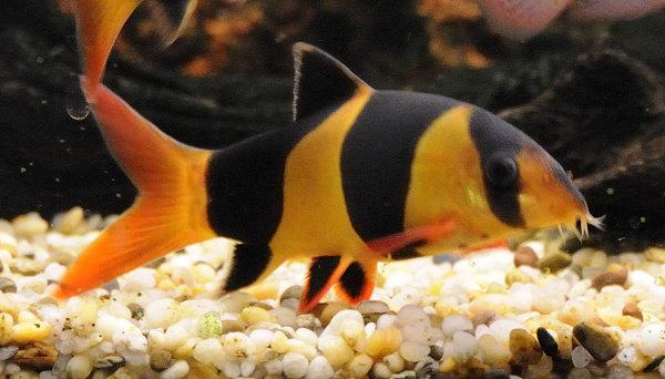 Ikan Botia Badut (Chrombotia Macracanthus)