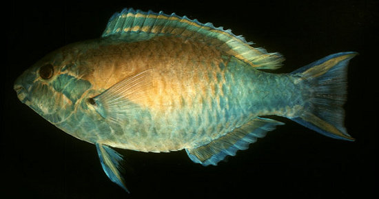Scarus hypselopterus