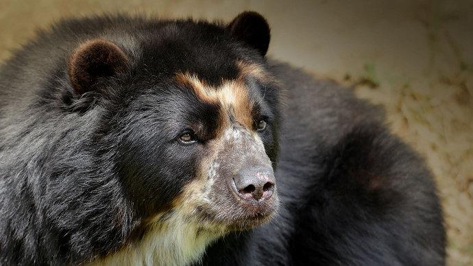 Beruang berkacamata