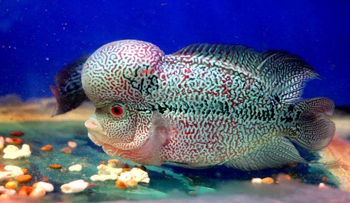 Jenis Ikan Louhan Apa Yang Termahal Dan Terbesar Di Dunia Diskusi Perikanan Dictio Community