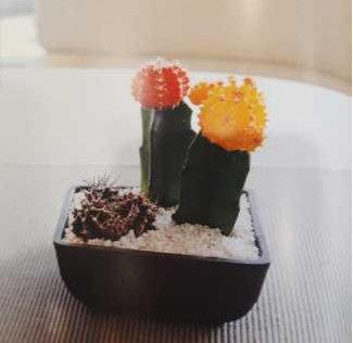 Cactus Gymnocalycium