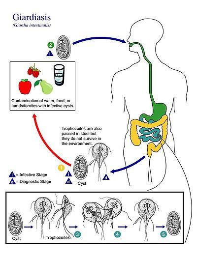 giardia și campylobacterul la om