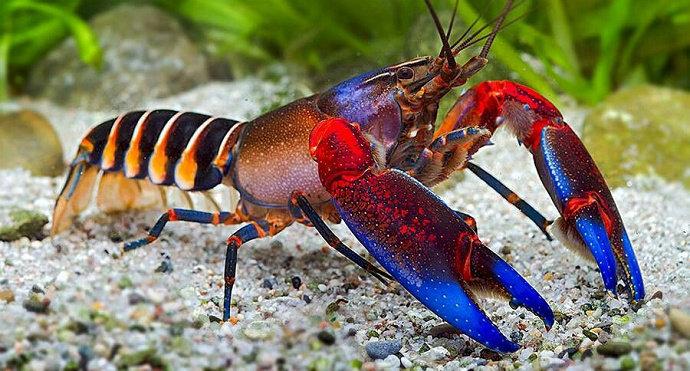 lobster Dark Rainbow