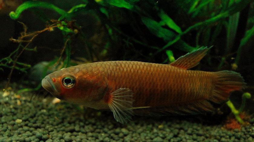 ikan cupang Betta Patoti