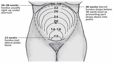 Pembesaran uterus menurut umur kehamilan