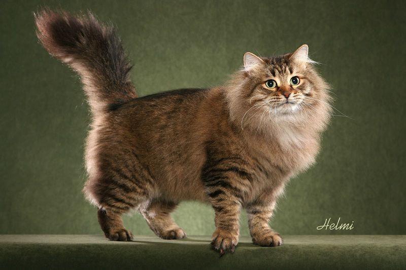 Apa Yang Anda Ketahui Tentang Kucing Siberian Hewan Peliharaan Dictio Community