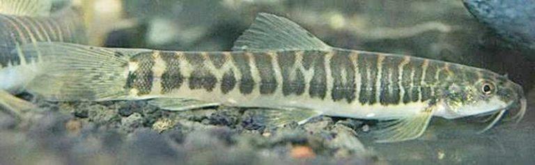 Ikan jeler