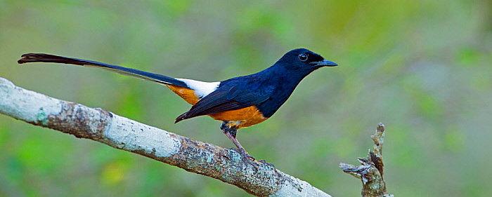 Bagaimana Cara Membedakan Burung Murai Batu Jantan Dan Betina Hewan Peliharaan Dictio Community