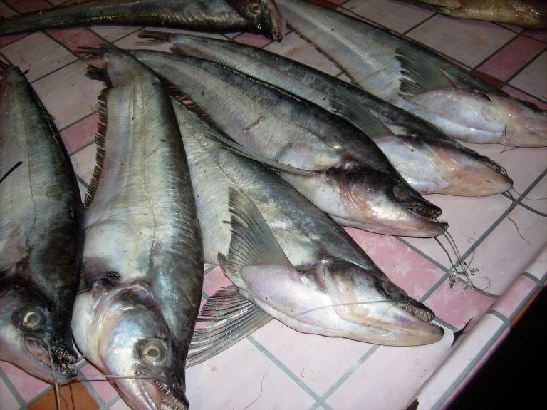 Ikan Lais Timah
