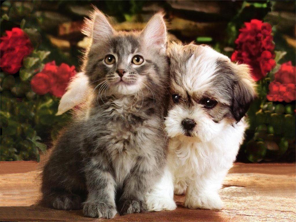 Shih-Tzu-And-Cat-1024x768