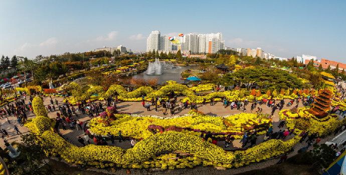 Festival Chrysanthemum