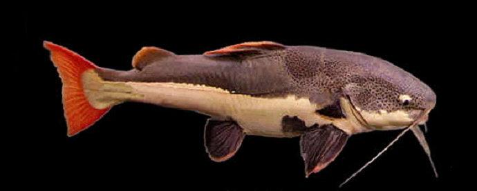 Ikan Lele Ekor Merah