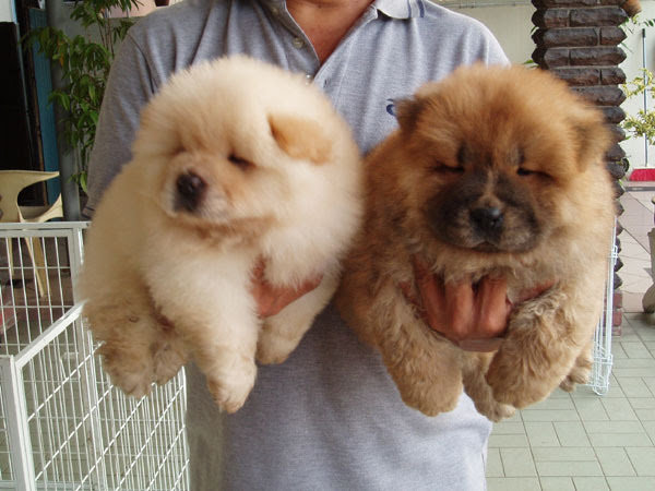 chow-chow-dog-price-5