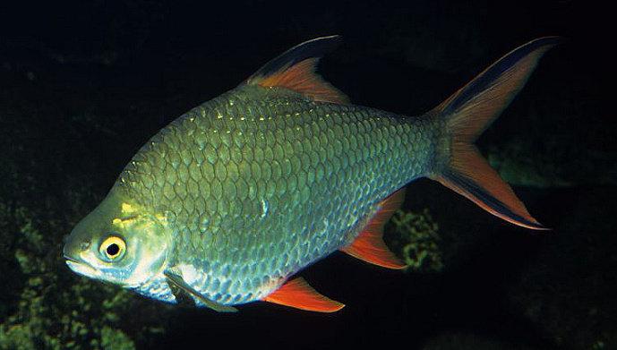 Ikan Lempam atau Ikan Tengadak