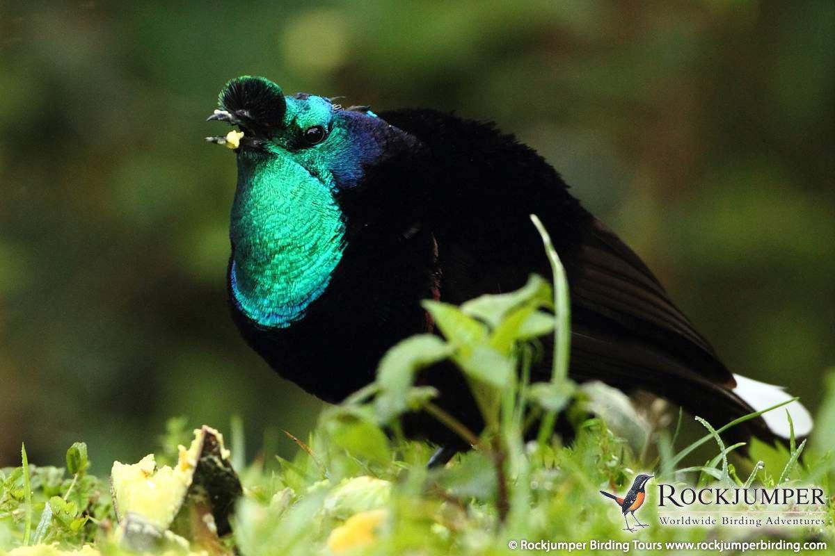 Astrapia Ribbon-tailed