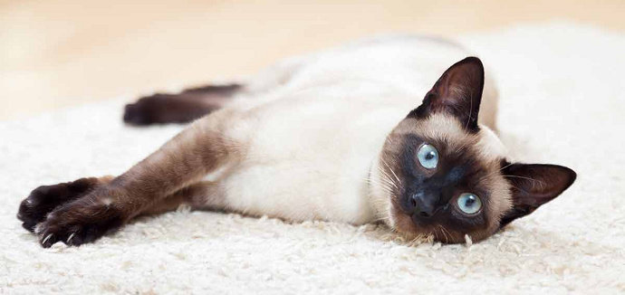 Kucing Siamese