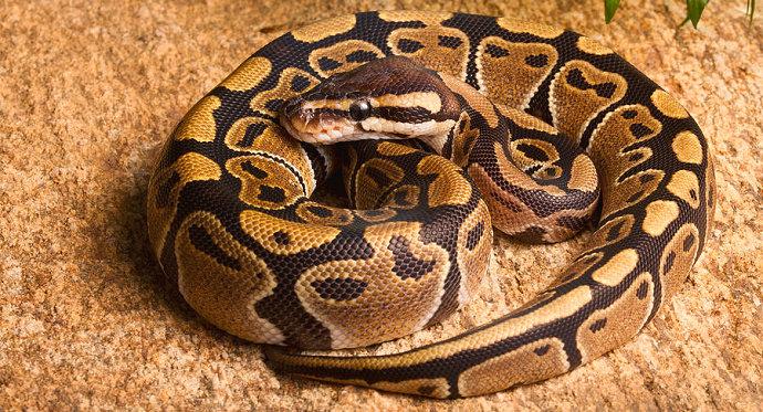 Ular ball python