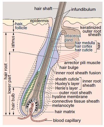 Struktur Rambut