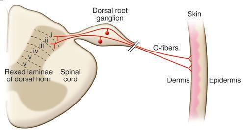 Anatomi jalur fiber-C