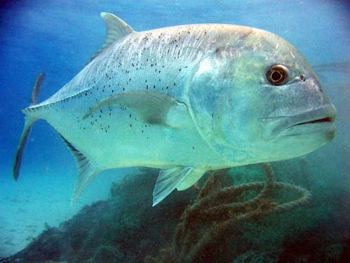 Ikan Kuwe Batu Besar