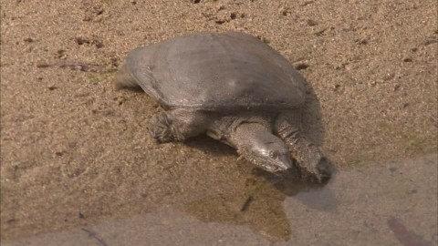Kura-kura punggung lunak Cina