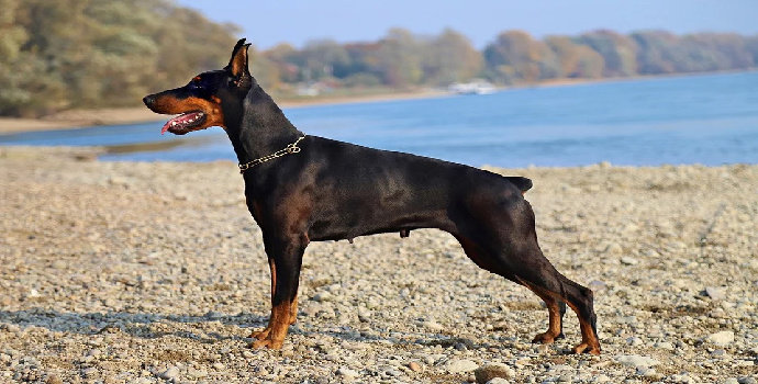 Apa saja klasifikasi ilmiah hewan Anjing ?
